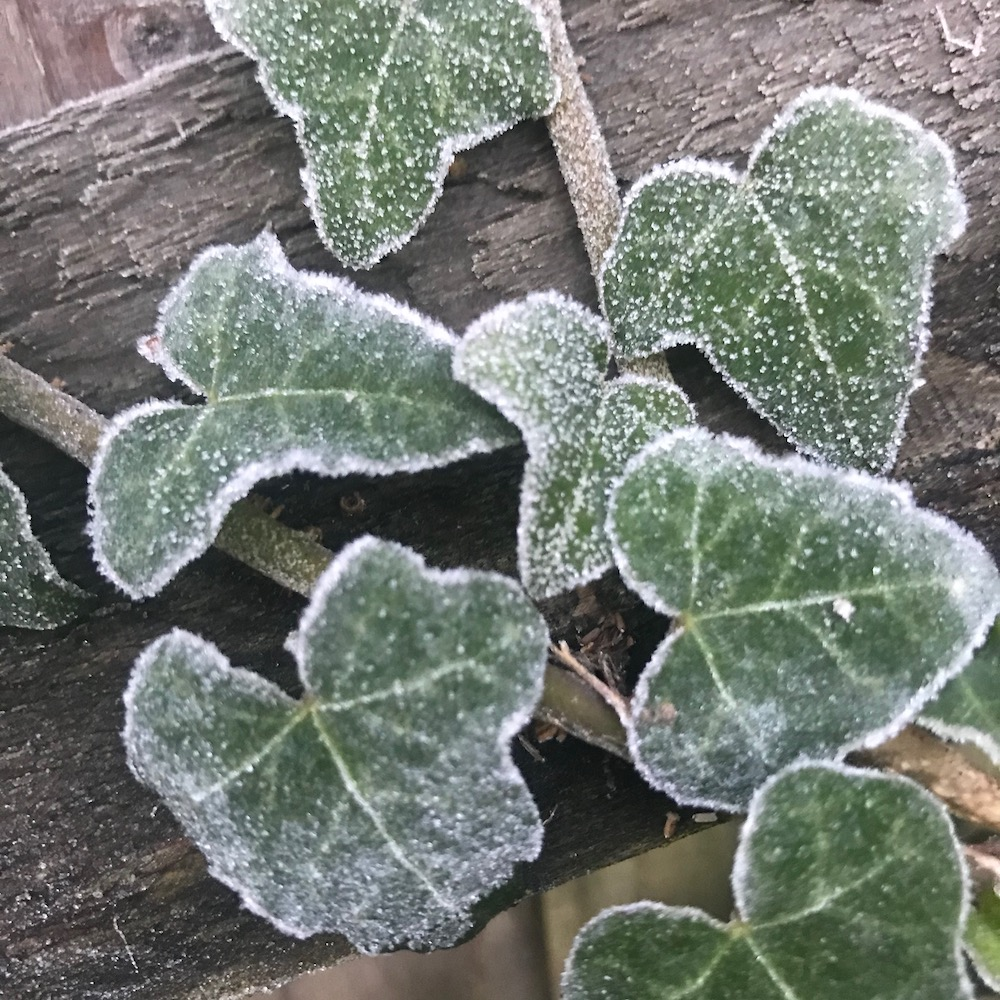 frosted ivy leaf